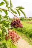 Busch Elderberry конца-вверх стоковые фото
