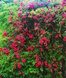 Busch of roses at summer royalty free stock photo