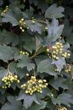 In Busch Viburnum reifen die Beeren Stockfotografie
