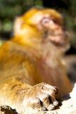 Buschaffe im Fauna-Handabschluß Afrikas Marokko oben Lizenzfreie Stockfotos
