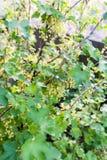 Buschblühen der roten Johannisbeere Lizenzfreie Stockbilder