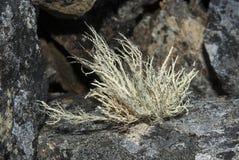 buschige Flechte, die auf Felsen der antarktischen Halbinsel wächst Stockfotografie