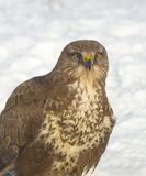 Buse/buteo communs de Buteo Photos stock