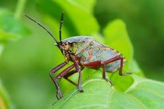 Buse d'un insecte photo stock