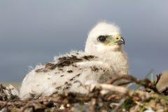Buse-lagd benen på ryggen vråkfågelunge Novaya Zemlya skärgård archy royaltyfri fotografi