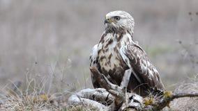 buse Rugueux-à jambes Lagopus de Buteo Dans l'habitat naturel Portrait en gros plan mâle banque de vidéos