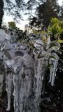 bush ледистый Стоковые Фото