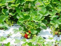 Bush клубники стоковое фото