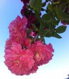 bush поднял Стоковые Фотографии RF