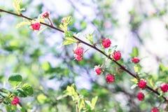 bush цветет пинк Стоковая Фотография
