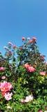 Bush цветка Rose стоковые изображения rf