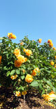 Bush цветка Rose стоковое изображение