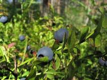 bush черники Стоковая Фотография