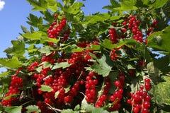 bush ягод стоковые фото
