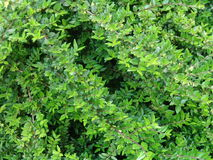 Bush. Evergreen bush in my garden Royalty Free Stock Photo