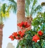 Bush Afrykański kwiat Tulipanowego drzewa palmy i Rewolucjonistka kwitnie przed niebem zdjęcie royalty free