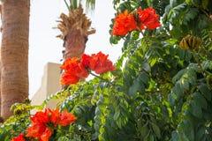 Bush Afrykański kwiat Tulipanowego drzewa palmy i Rewolucjonistka kwitnie przed niebem Spathodea campanulata, powszechnie zna jak zdjęcia stock