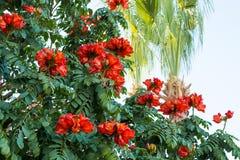 Bush Afrykański kwiat Tulipanowego drzewa palmy i zdjęcia stock