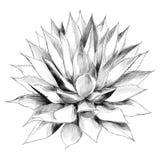 Bush agave sketch vector graphics. Bush agave of red top view sketch vector graphics black and white drawing vector illustration