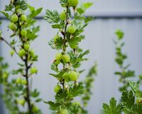 Bush agresta Ribes uva-crispa z zielonym niewyrobionym berr Fotografia Stock