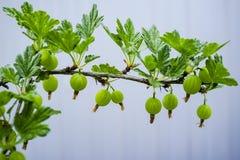 Bush agresta Ribes uva-crispa z zielonym niewyrobionym berr Zdjęcia Stock