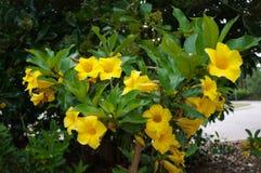 Bush Allamanda Schottii. In Florida Botanical Garden Stock Images