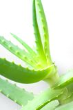 Bush of an aloe vera with juicy leaves Stock Photography