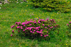 Bush of alpenrose (Rhododendron ferrugineum) Stock Image