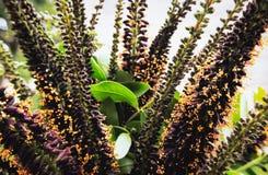 Bush Amorpha fruticosa Zdjęcie Stock