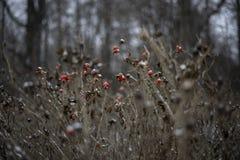 Bush aumentou beleza vermelha das bagas da neve do inverno da menina foto de stock