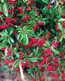 Bush. Autumnal bush with red berries Royalty Free Stock Photography