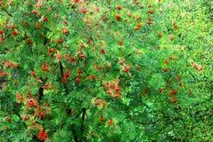 Bush av ashberry Royaltyfria Bilder