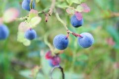 Bush av blåbär Royaltyfria Foton