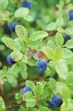 Bush av blåbär Royaltyfri Foto