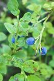 Bush av blåbär Arkivbild