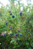 Bush av blåbär Arkivbilder