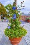 Bush av blommor i en blomkruka på gränden i parkera Royaltyfri Bild