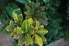 Bush av Crotons, pothosen och dekorativt gömma i handflatan Arkivfoton