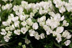 Bush av dekorativa blommor Fotografering för Bildbyråer