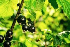 Bush av den svarta vinbäret som växer i en trädgård Bakgrund av svart cu Royaltyfri Fotografi