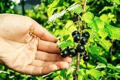 Bush av den svarta vinbäret som växer i en trädgård Bakgrund av svart cu Arkivbild