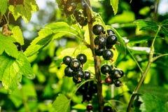 Bush av den svarta vinbäret som växer i en trädgård Bakgrund av svart cu Royaltyfri Foto
