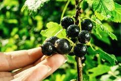 Bush av den svarta vinbäret som växer i en trädgård Bakgrund av svart cu Arkivfoton