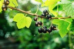 Bush av den svarta vinbäret som växer i en trädgård Bakgrund av svart cu Arkivbilder