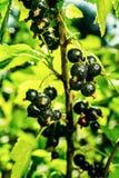 Bush av den svarta vinbäret som växer i en trädgård Bakgrund av svart cu Arkivfoto