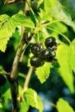 Bush av den svarta vinbäret som växer i en trädgård Bakgrund av svart cu Royaltyfria Foton