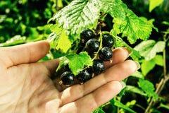 Bush av den svarta vinbäret som växer i en trädgård Bakgrund av svart cu Fotografering för Bildbyråer