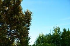 Bush av den unga havsbuckthornen i strålarna av inställningssolen royaltyfri foto