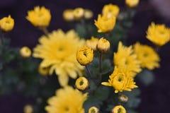 Bush av en gul krysantemum med blommor och knoppar royaltyfri fotografi
