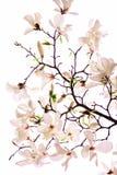 Bush av en rosa magnolia Arkivbild